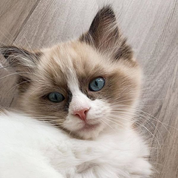 Beautiful Ragdoll Kittens Available for sale.