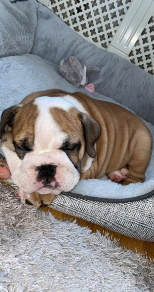 STUNNISH LOVING LOOKING ENGLISH BULLDOG AVAILABLE
