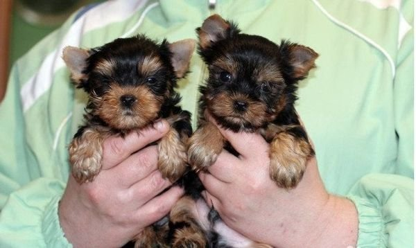 Tiny Yorkie Puppies Available