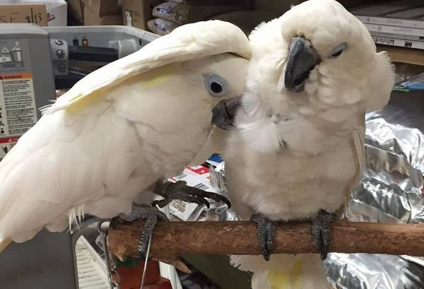 Cockatoo Parrots For Sale