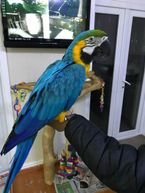 Hand Reared Baby Female Catalina Macaw whatsaap me:+639232316532