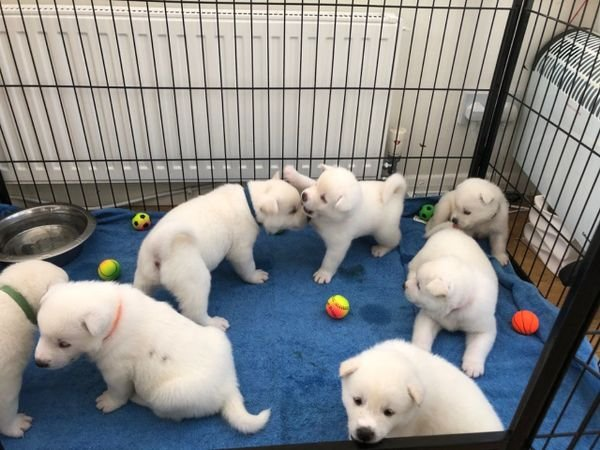 AKC reg male and female Akita puppies for sale.