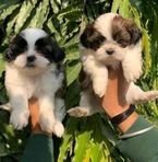 Shitzu puppies for rehoming now whatshapp +971504185305