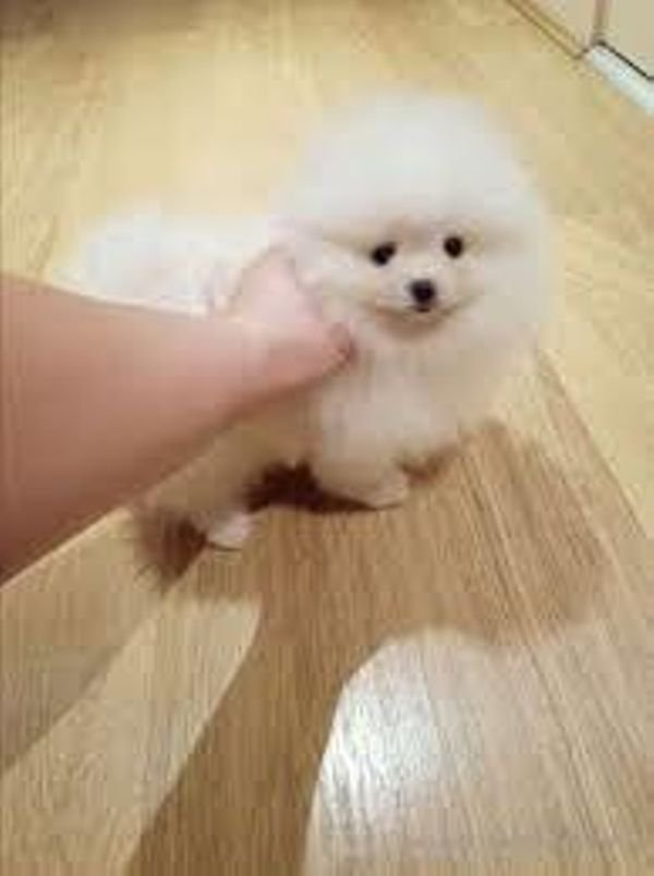 Trained Pomeranian Puppies for sale