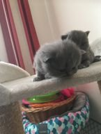 British Longhair Kittens For Sale