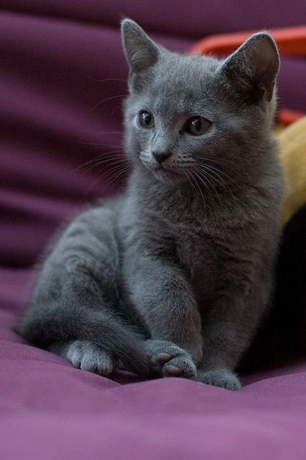Russian Blue Kittens Are Ready to go