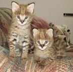 Lovely Serval Kittens for sale