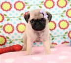 AKC purebred pug puppy for sale