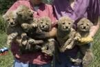 Tigers,Cheetah Cubs For Sale