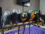 African gray,Macaw  parrots male and female for sale