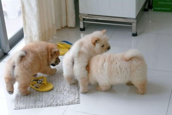 Chow chow puppy available