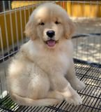 Golden retriever puppy for rehoming....