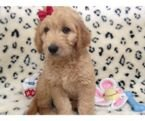 Female Goldendoodle