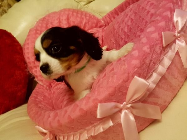 I have Cavalier King Charles Spaniel Puppies for sale.