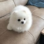 Pominerian puppy for adoption@...