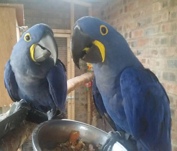 Talking Hyacinth Macaw Parrots available for sale