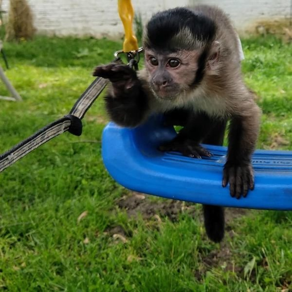 Brazilian) capuchin monkey for sale