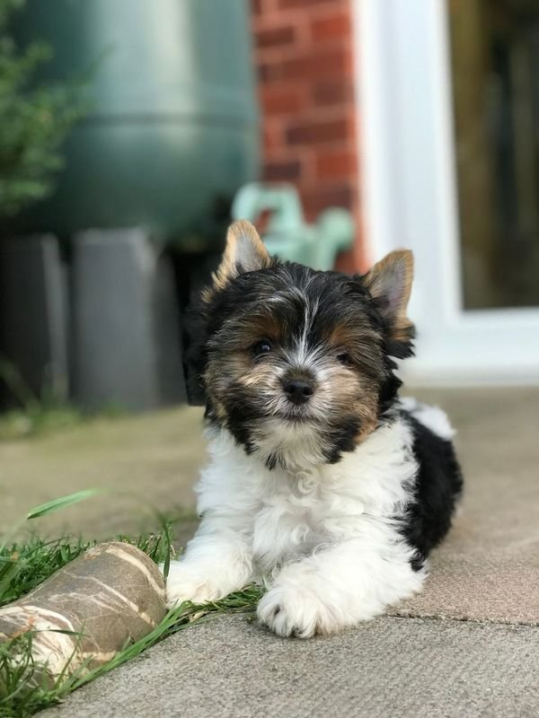 Cute Male and Female Teacup Yorkie Puppies for sale