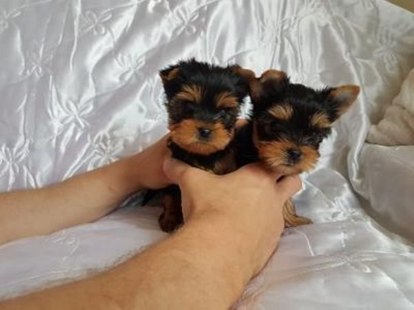 Yorkie Puppies for available