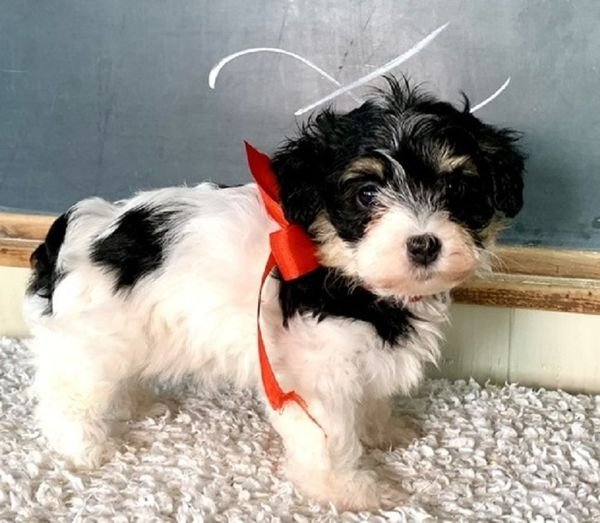 Adorable Havanese Puppies Available