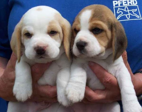 Two Cute and lovely Beagle puppies