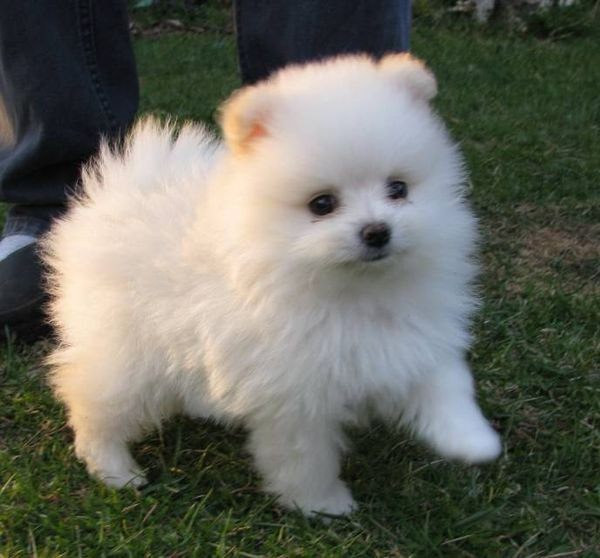 Lovably Teacup Pomeranian puppies both male and female available!!!