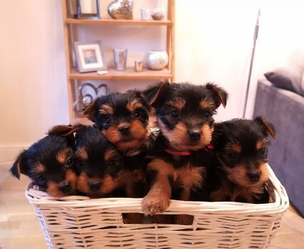 Lovely yorkies puppies for sale