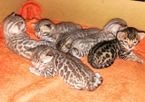 Lovely Bengal Kittens Available