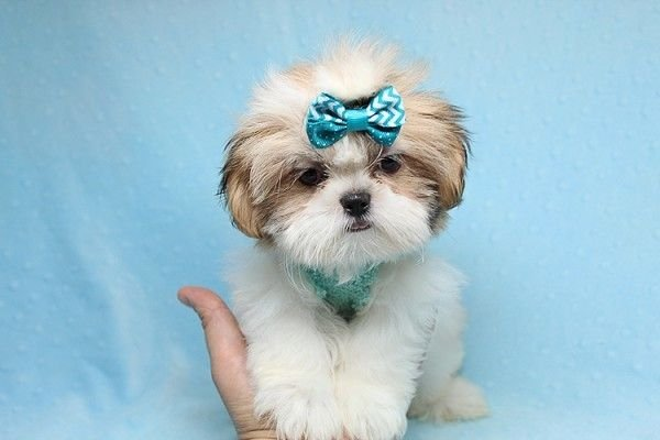 Teacup Shih Tzu puppies available for sale