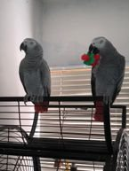 African Grey Female