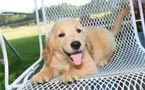 Lovely golden puppy available