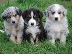 Adorable Australian Shepherds Puppies for Sale