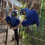 I have a pair of hyacinth parrots
