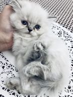 Himilayan cat for sale
