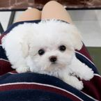 TeaCup Maltese puppies Available for sale