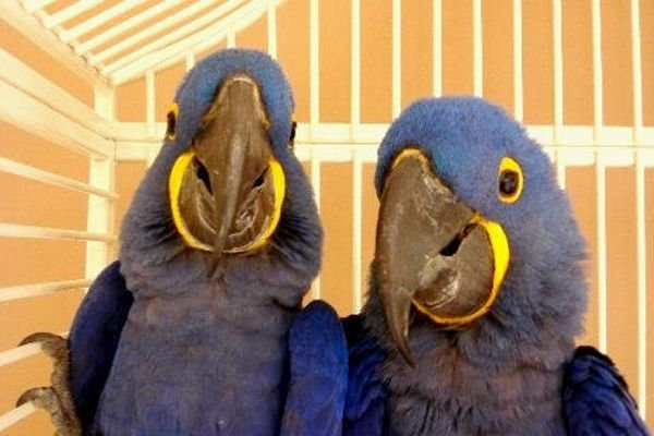 Hyacinth Macaw Parrot Excellent Talker