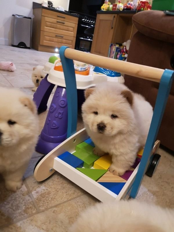Healthy chow chow Puppies for sale/whatsapp  055 226 3211