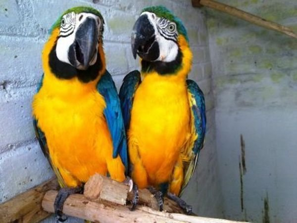 Lovely Macaw parrots male and female for sale