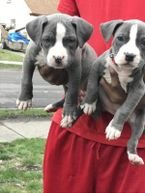 American Pittbull puppies for sale