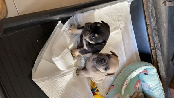 Two Gorgeous French Bulldog Pups For Sale