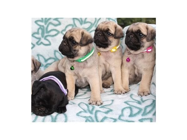 Cute Pedigree Pug Puppies for sale