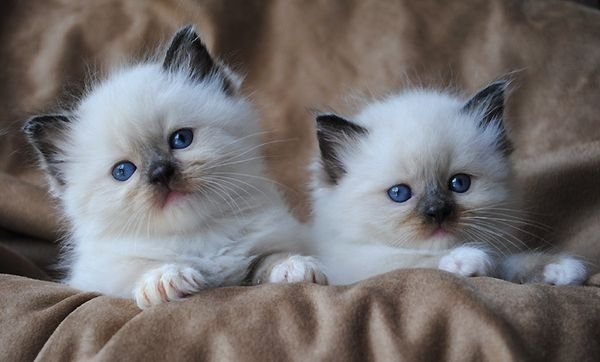 Adorable RAGDOLL KITTENS