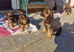 Kc Registered German Shepherds puppies