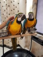 Hand-reared pair of blue and gold Macaws parrot