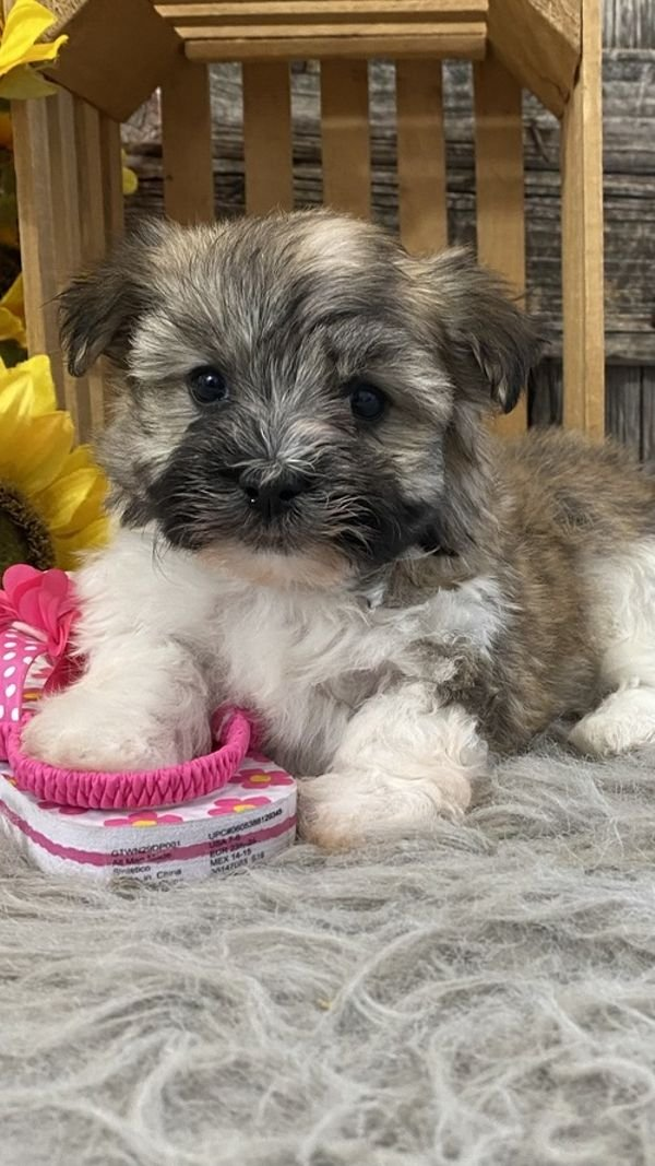 Adorable Havanese Puppies for sale