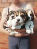Cute and lovely Beagle puppies