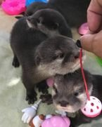 Otters available for sale