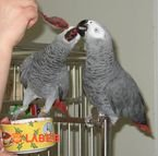 Get this adorable African grey parrots for sale