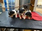 Cute Jack Russell Terrier Puppies for Sale