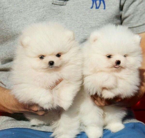 Lovely Teacup Pomeranian Puppies for Sale